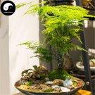 Buy Asparagus Setaceus Seeds 40pcs Plant Apargus Plumosus Baker Wen Zhu