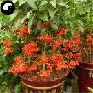 Buy Ardisia Crenata Sims Tree Seeds 60pcs Plant Fu Gui Zi Bonsai For Rich