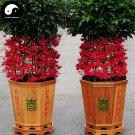 Buy Ardisia Crenata Sims Tree Seeds 120pcs Plant Fu Gui Zi Bonsai For Rich