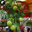 Buy Asclepias Fruticosa Tree Seeds 120pcs Plant Qi Qiu Guo Bonsai