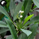 Buy Plumeria Rubra Tree Seeds 30pcs Plant Yolk Flower For Egg Flower
