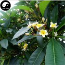Buy Plumeria Rubra Tree Seeds 60pcs Plant Yolk Flower For Egg Flower