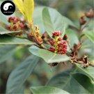 Buy Distylium Racemosum Tree Seeds 60pcs Plant Shrub Tree Wen Mu Shu