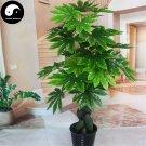 Buy Fatsia Japonica Tree Seeds 240pcs Plant Shrub Tree Ba Jiao Jin Pan