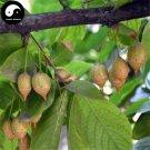 Buy Sinojackia Xylocarpa Tree Seeds 6pcs Plant Weight Tree Chen Chui Shu