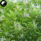 Buy Vitex Negundo Tree Seeds 400pcs Plant Shrub Tree Stem Jing Tiao