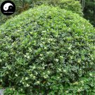 Buy Pittosporum Tobira Tree Seeds 120pcs Plant Shrub Tree Pittosporum Hai Tong