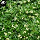Buy Pittosporum Tobira Tree Seeds 60pcs Plant Shrub Tree Pittosporum Hai Tong