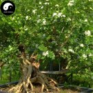 Buy Murraya Exotica Tree Seeds 240pcs Plant Sweet Tree Jiu Li Xiang