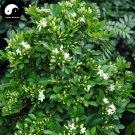 Buy Murraya Exotica Tree Seeds 120pcs Plant Sweet Tree Jiu Li Xiang
