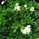 Buy Murraya Exotica Tree Seeds 60pcs Plant Sweet Tree Jiu Li Xiang