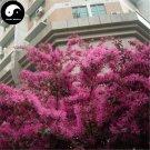 Buy Loropetalum Chinense Tree Seeds 120pcs Plant Loropetalum Tree Hong Ji Mu