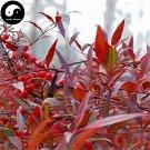 Buy Common Nandina Tree Seeds 60pcs Plant Nandina Domestica Nan Tian Zhu