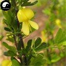 Buy Caragana Korshinskii Tree Seeds 60pcs Plant Korshinsk Peashrub Ning Tiao