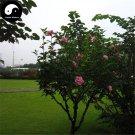 Buy Hibiscus Syriacus Tree Seeds 240pcs Plant Chinese Rose Mu Jin