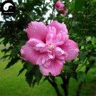 Buy Hibiscus Syriacus Tree Seeds 60pcs Plant Chinese Rose Mu Jin