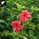 Buy China Rose Hibiscus Tree Seeds 120pcs Plant Chinese Rose Mallow Zhu Jin