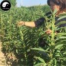 Buy Sesamum Indicum Seeds 600pcs Plant Chinese White Sesame Seed Bai Zhi Ma