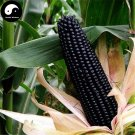 Buy Purple Waxy Corn Seeds 120pcs Plant Chinese Sweet Zea Mays For Balck Corn