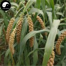 Buy Millet Seeds 600pcs Plant Chinese Herb Food Millet For Grain Millet