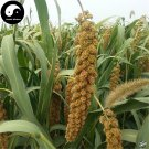 Buy Millet Seeds 300pcs Plant Chinese Herb Food Millet For Grain Millet