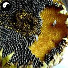 Buy Sunflower Seeds 600pcs Plant Helianthus Annus For Kwai Seed