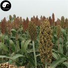 Buy White Sorghum Seeds 800pcs Plant Chinese Grain Sorghum Gao Liang