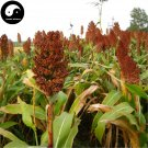 Buy Red Sorghum Seeds 800pcs Plant Chinese Grain Sorghum Gao Liang