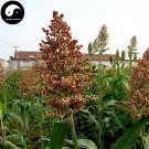 Buy Red Sorghum Seeds 200pcs Plant Chinese Grain Sorghum Gao Liang