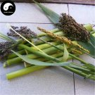 Buy Sugar Sorghum Seeds 120pcs Plant Sugar Cane For Sweet Cane