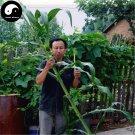 Buy Sugar Sorghum Seeds 240pcs Plant Sugar Cane For Sweet Cane