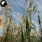 Buy Avena Sativa Seeds 400pcs Plant Grain Oat Wheat For Food Yan Mai