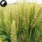 Buy Chinese Wheat Seeds 600pcs Plant Grain Triticum Aestivum For Food Xiao Mai