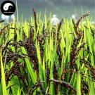 Buy Black Rice Seeds 300pcs Plant Grain Oryza Sativa For Food Paddy