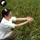 Buy Red Rice Seeds 600pcs Plant Grain Oryza Sativa For Food Paddy