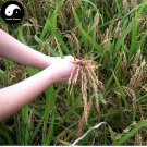 Buy Red Rice Seeds 300pcs Plant Grain Oryza Sativa For Food Paddy