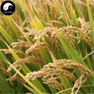Buy Yellow Fragrant Rice Seeds 600pcs Plant Grain Oryza Sativa For Food Paddy