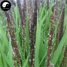 Buy Green Fragrant Rice Seeds 300pcs Plant Grain Oryza Sativa For Food Paddy