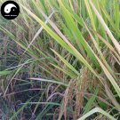 Buy Purple Fragrant Rice Seeds 600pcs Plant Grain Oryza Sativa For Food Paddy