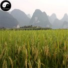 Buy White Fragrant Rice Seeds 600pcs Plant Grain Oryza Sativa For Food Paddy