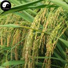 Buy White Fragrant Rice Seeds 300pcs Plant Grain Oryza Sativa For Food Paddy