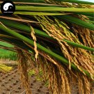 Buy White Fragrant Rice Seeds 150pcs Plant Grain Oryza Sativa For Food Paddy