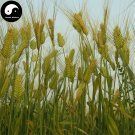 Buy Barley Seeds 300pcs Plant Grain Hordeum Vulgare For Food Da Mai
