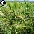 Buy Chinese Hulless Barley Seeds 600pcs Plant Grain Hordeum Vulgare For Food Qing Ke