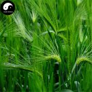 Buy Chinese Hulless Barley Seeds 300pcs Plant Grain Hordeum Vulgare For Food Qing Ke