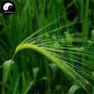 Buy Chinese Hulless Barley Seeds 150pcs Plant Grain Hordeum Vulgare For Food Qing Ke