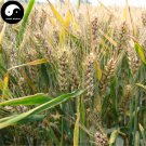 Buy Chinese Black Wheat Seeds 300pcs Plant Grain Triticum Aestivum For Food Wheat