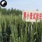 Buy Chinese Black Wheat Seeds 150pcs Plant Grain Triticum Aestivum For Food Wheat