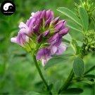 Buy Chinese Alfalfa Herb Seeds 250pcs Plant Medicago Sativa For Forage Grass