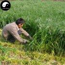 Buy Perennial Ryegrass Grass Seeds 2000pcs Plant Evergreen Forage Grass Ryegrass